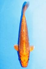 DOITSU HARIWAKE +21cm