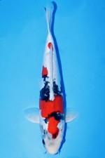 DOITSU KINDAI SHOWA +40CM