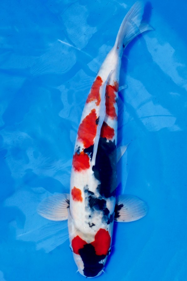 KINDAI SHOWA TOP Koi