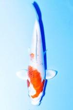 MATSUBA HARIWAKE TOSAI