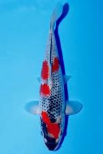 VHQ GOSHIKI +25CM JUMBO TOSAI